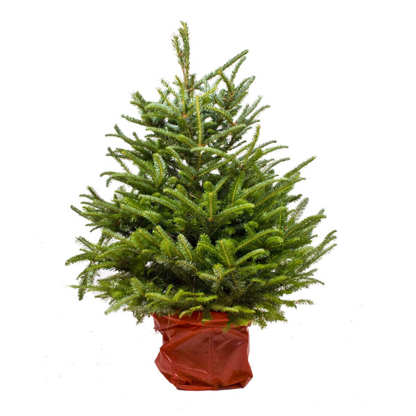 Real Christmas Tree In A Pot